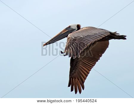 A photo of a pelican in flight with its wings lowered