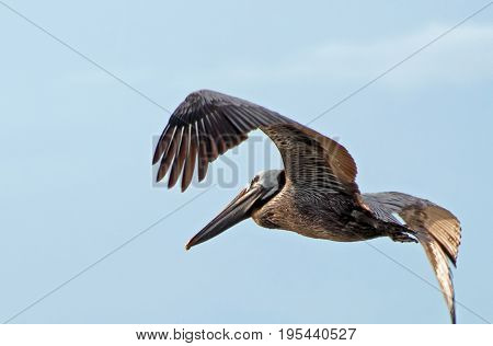 A photo of a pelican in flight with its wings arched