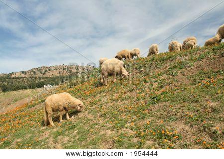 Lambs In Calendulas Meadow