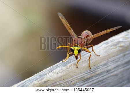 Image of potter wasp (Delta sp Eumeninae) on dry timber. Insect Animal