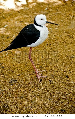this is a side view of a black winged stilt
