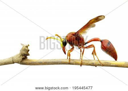 Image of potter wasp (Delta sp Eumeninae) on dry branches on white background. Insect Animal