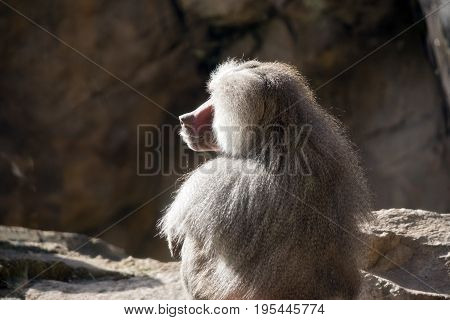this is a close up of a baboon