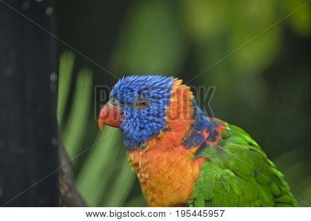 this is a close up of a red collared lorikeet