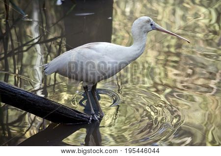 the yellow spoonbill is drinking from the pond