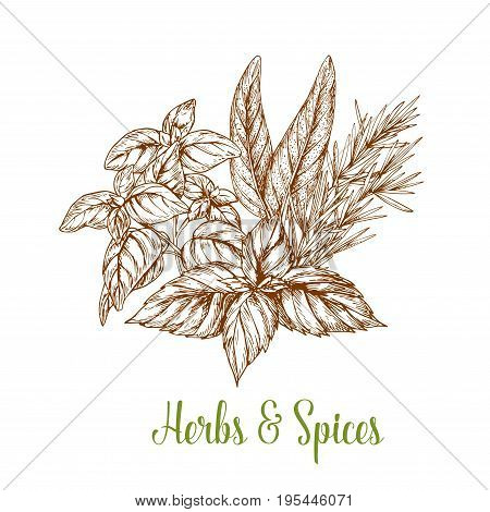 Herbs and spices vector sketch. Farm grown organic sage or bay leaf and thyme or oregano, natural peppermint flavoring, cinnamon or cilantro and dill or parsley for culinary seasonings package design