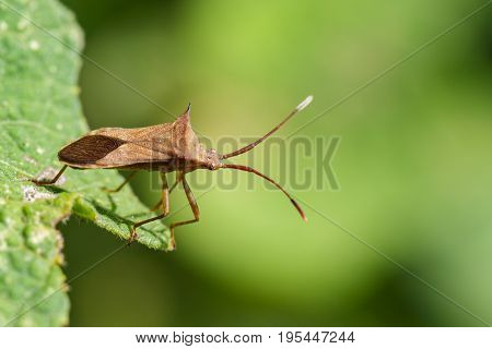Image of Cletus trigonus (Hemiptera) on a green leaf on nature background. Insect Animal