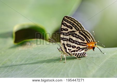 Image of Club Silverline Butterfly(Cigaritis syama) on a green leaf. Insect Animal