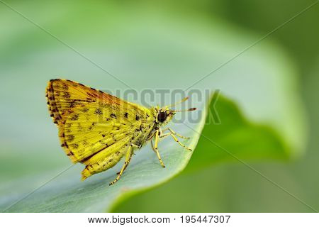 Image of common dartlet butterfly (Oriens gola Moore1877) on a green leaf on nature background. Insect Animal