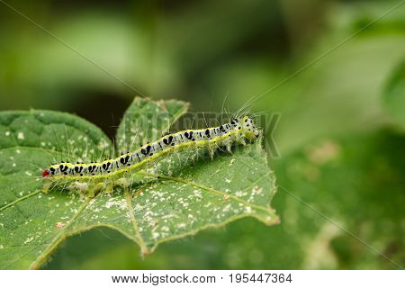 Image of Hairy caterpillar (Eupterote testacea) on green leaves. Insect Animal
