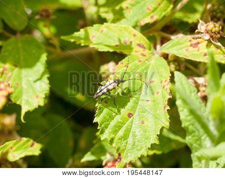 Black And Yellow Longhorn (rutpela Maculata Or Strangalia Maculata)