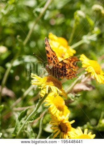 Comma Butterfly (polygonia C-album) On Flower Outside Head, Eyes, And Antenna