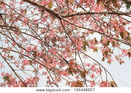 Wild Himalayan Cherry scientific name: Prunus cerasoides