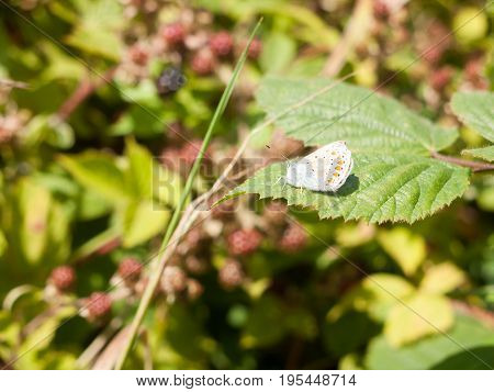 Silver-studded Blue Butterfly (plebejus Argus) On Leaf