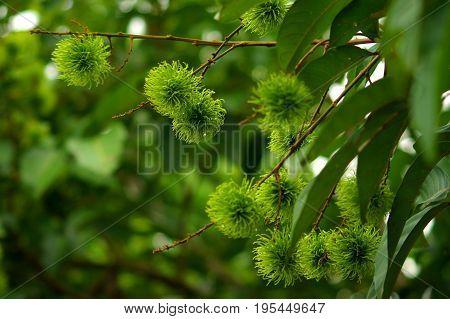 Small green fruits of raw Rambutan before ripening