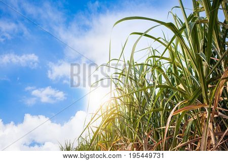 sugarcane field with blue sky in the morning