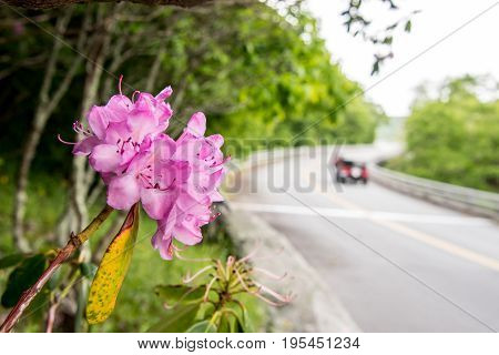 Cars Pass Rhododendron Bloom Along Blue Ridge Parkway in late spring