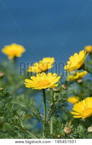 Close Up of California Brittlebush flowers along coast