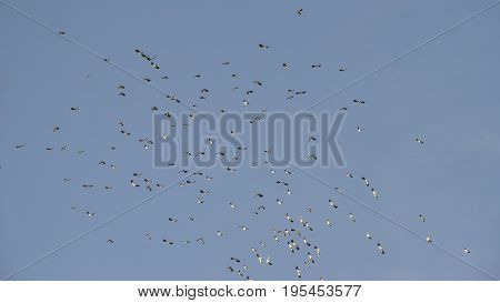 Flock Of Beautiful Migratory Lapwing Birds In Clear Winter Sky