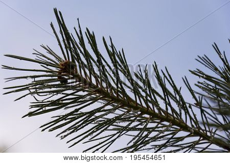 Needles. Top of branch of coniferous tree. Clear blue sky background.
