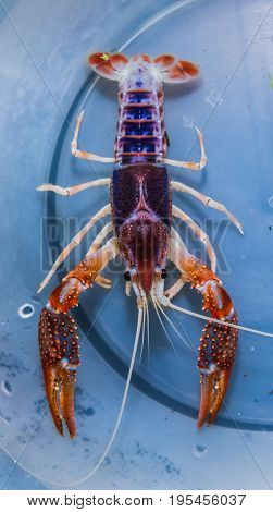 Real Ghost Mix color crayfish(Procambarus clarkii) in aquarium tank.