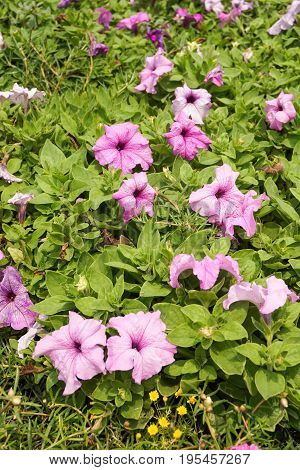 purple petunia hybrida flower in nature garden
