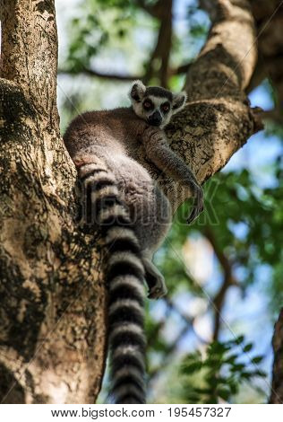 Ring- tailed Lemur on trees in the zoo.Ring- tailed Lemur animal.The zoo in Thailand.