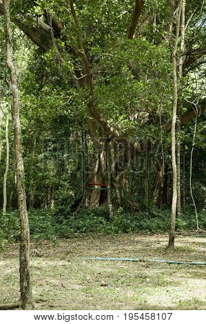 Ficus benjamina tree in nature forest Thailand