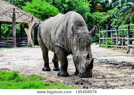 Rhinoceros in the zoo. Rhinoceros animal. background
