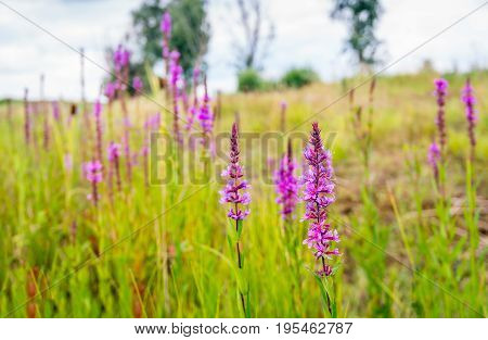 Flowering Lythrum salicaria or purple loosestrife in a marshy area in the Netherlands on a cloudy day in summertime.