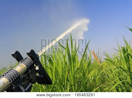 sprinkler head watering napier grass for feeding dairy cows .