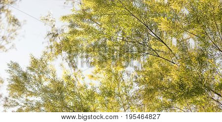 Panorama of Good morning in Australia with yellow flowering Australian wattle background