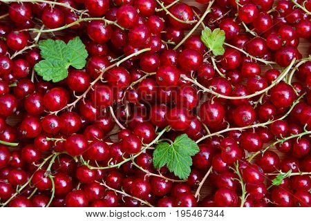 Currant red. Berries background. Fresh organic currant from village garden. Ecological berries for desserts smoothie or jam.