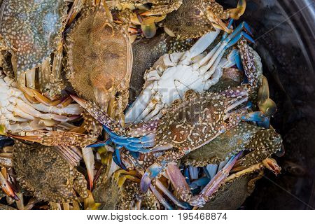 Close Up Shot Of Blue Swimming Crabs.
