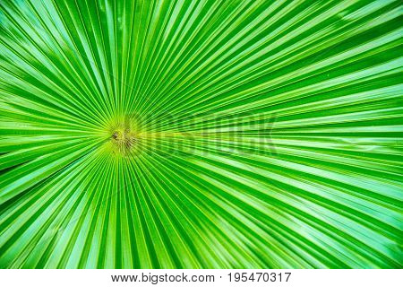 Closeup Of Livistona Palm Leaves In A Garden,green Palm Leaf Close-up Background
