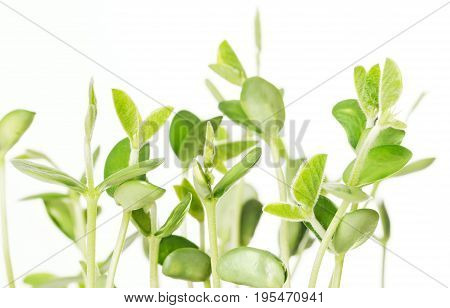 Soybean seedlings on white background. Young Soya bean plants, sprouts and leafs of germinated Glycine max, a legume, oilseed and pulse. Cotyledons with first single blades. Front view. Macro photo.
