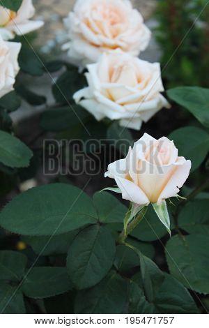 красивые цветущие розы рядом с домом летом