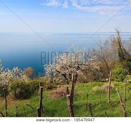 View of wild cherry in Santa Croce countryside Trieste