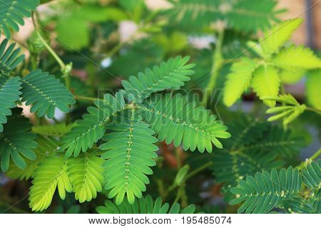Closeup of leaves of a sensitive plant or mimosa pudica