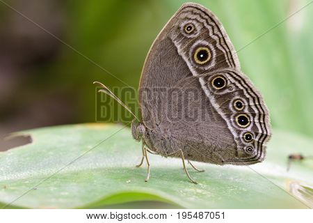 Image of Common Bushbrown Butterfly (Mycalesis perseus Fabricius 1775) on green leaves. Insect Animal.