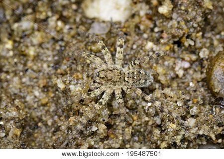 Image of River Huntress Spiders (Venatrix arenaris) on the sand. Insect Animal