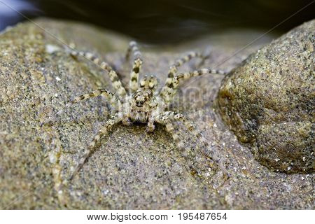 Image of River Huntress Spiders (Venatrix arenaris) on the rock. Insect Animal