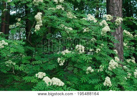 wild nine bark tree cluster of blossoms.