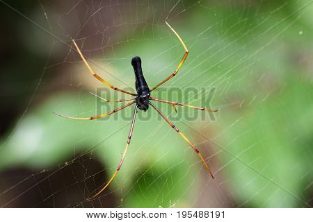 Image of Black Orb-weaver Spider (Nephila kuhlii Doleschall 1859) on the spider web. Insect Animal