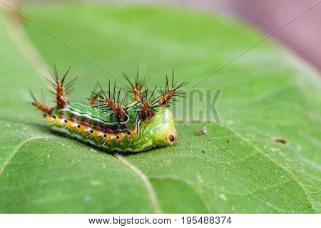 Image of Stinging Nettle Slug Caterpillar (Cup Moth Limacodidae)