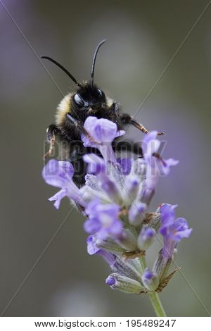 Bee on Lavandula angustifolia (Lavender) 'Ashdown Forest'