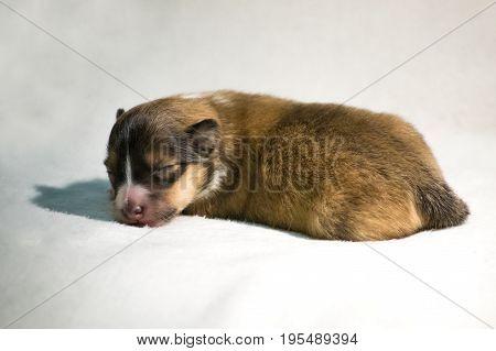 Gold beautiful fresh sheltie puppy dog lying on white blanket