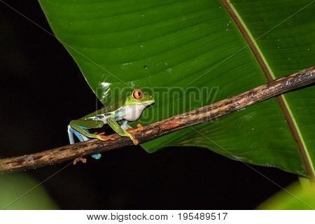 Walking red eyed frog in Costa Rica