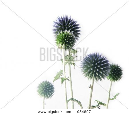 Blue Thistly Flowers