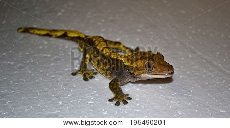 Yellow crested gecko, Correlophus ciliatus at white ground